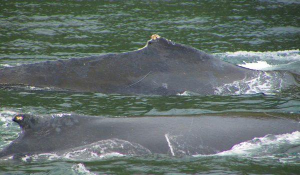 rückenflosse-buckelwal