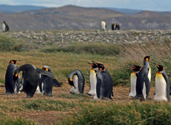 pinguinos-rey-3