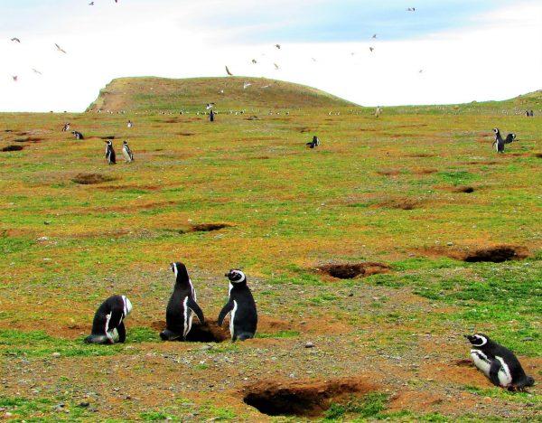 Iisla-magdalena-pinguinos